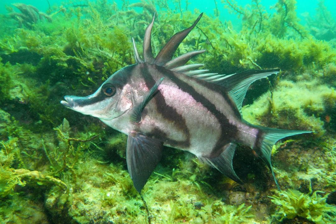 Longsnout boarfish (Pentaceropsis recurvirostris)
