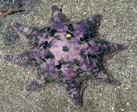 3._Credit_sea-kangaroo_-_Carpet_Sea_Star_aka_Meridiastra_calcar.jpg