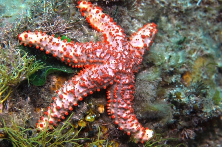 6._Credit_D._Muirhead_-_Granular_Sea_Star_aka_Uniophora_granifera.jpg