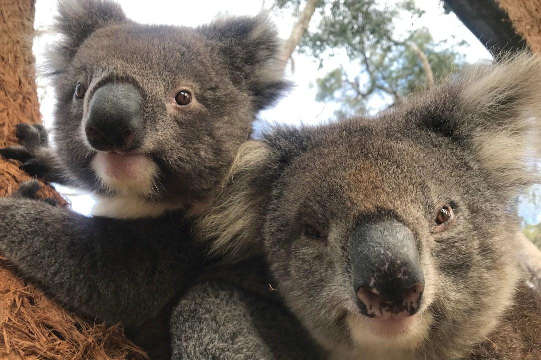 cleland-koalas-update-body.jpg