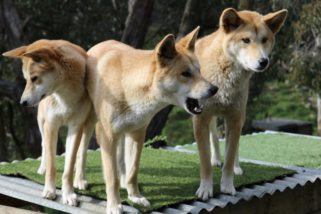 Cleland's dingo pups