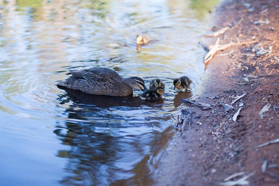 ducks-in-parks-body1.jpg