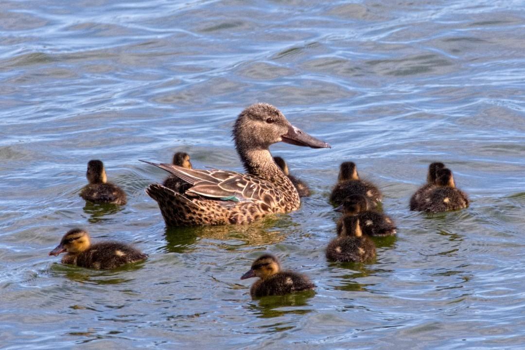 ducks-in-parks-body3.jpg