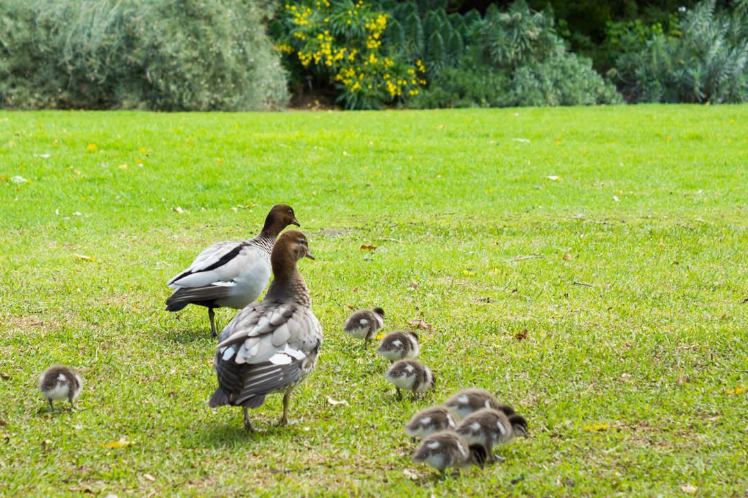 ducks-in-parks-body5.jpg