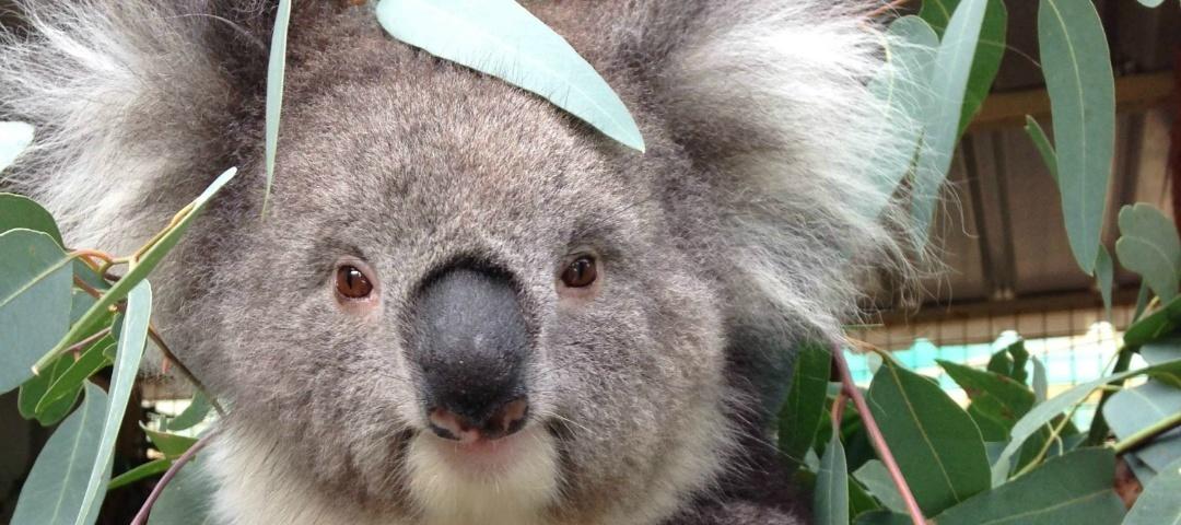 Have your say on koalas good living - Koala components ...