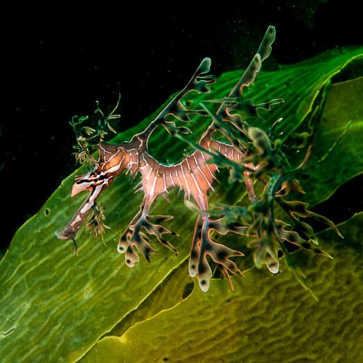 A leafy seadragon (Phycodurus eques) near The Bluff, Encounter Bay