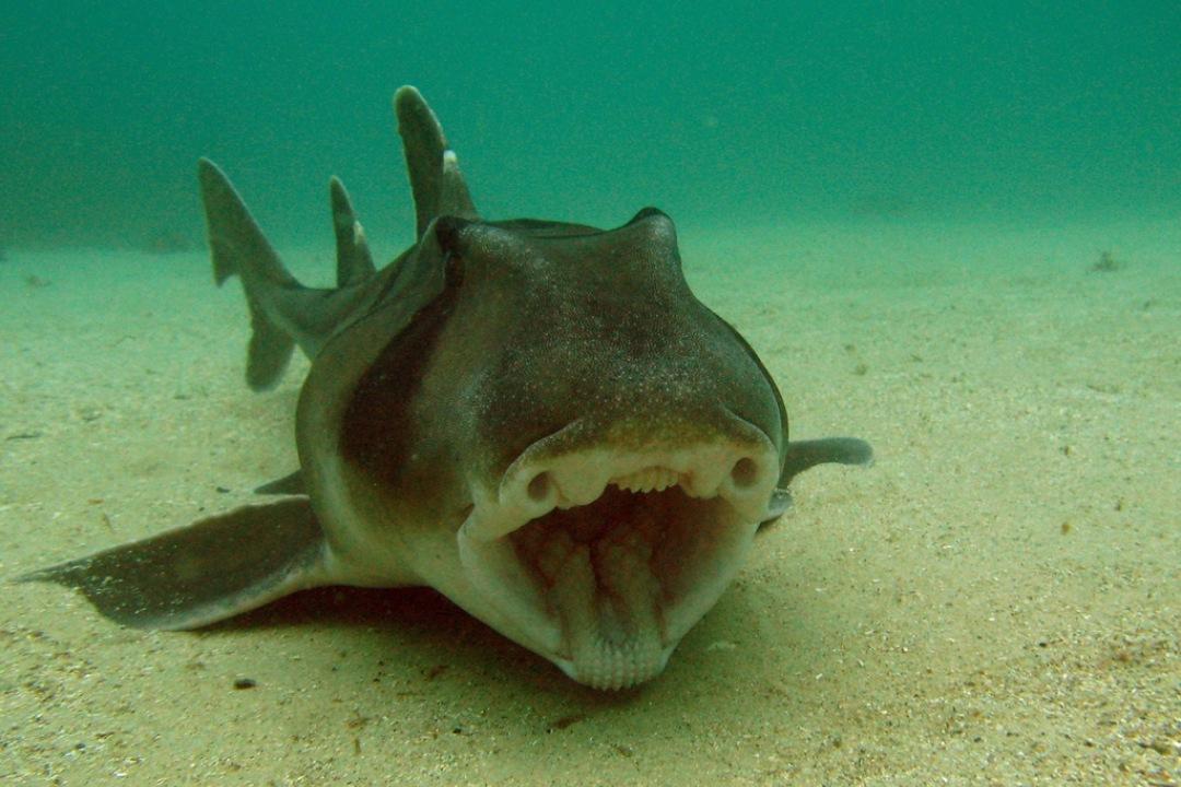 port-jackson-sharks-body1.jpg