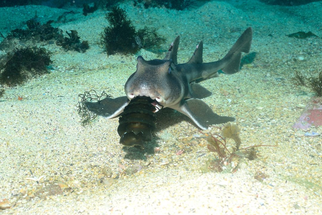 port-jackson-sharks-body2.jpg