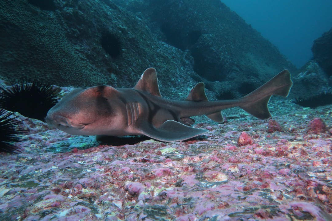 port-jackson-sharks-body3.jpg