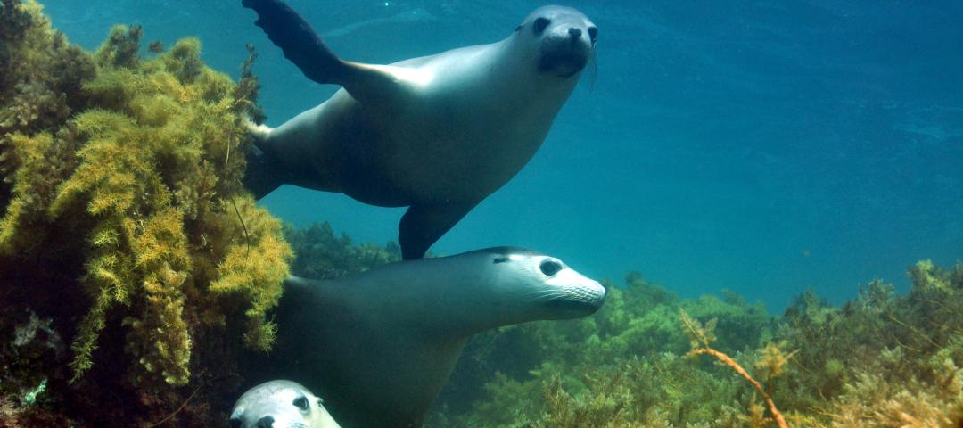 Get To Know Sa S Endangered Sea Lions Good Living