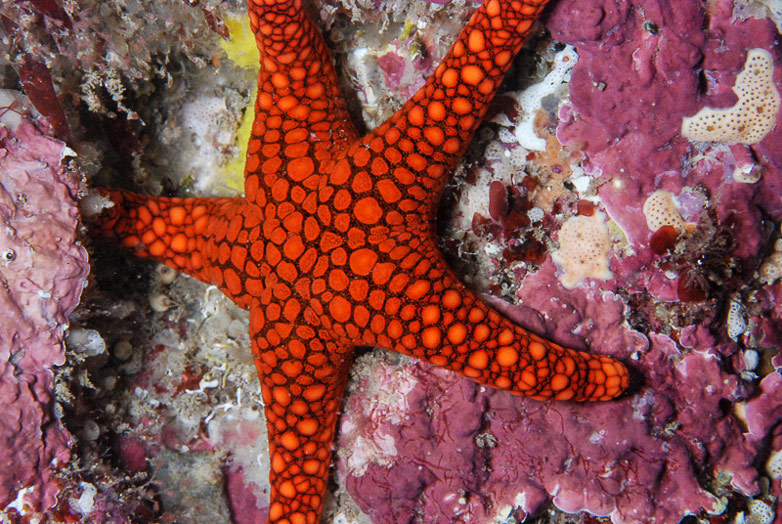 A sea star (Nectria ocellata) near Blacks Reef, Encounter Bay
