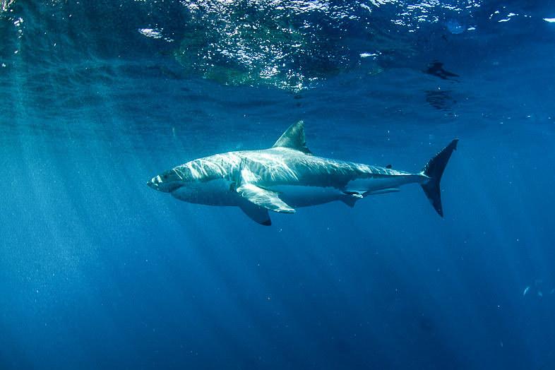 A white shark (Cacharodon carcharis) near the Neptune Islands