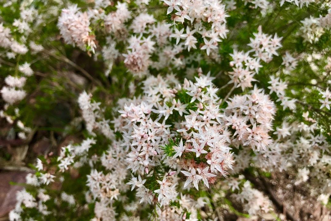 wildflowers-in-the-flinders-ranges-body2.jpg