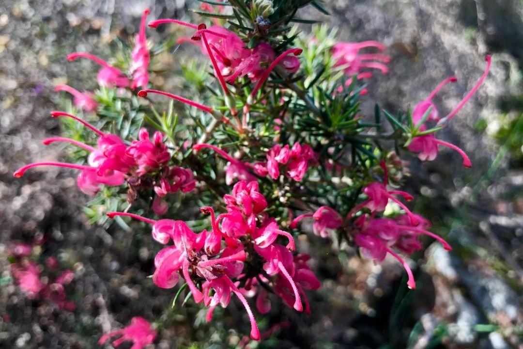 wildflowers-in-the-flinders-ranges-body4.jpg