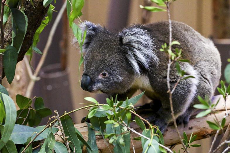 Koala with eucalyptus leaves