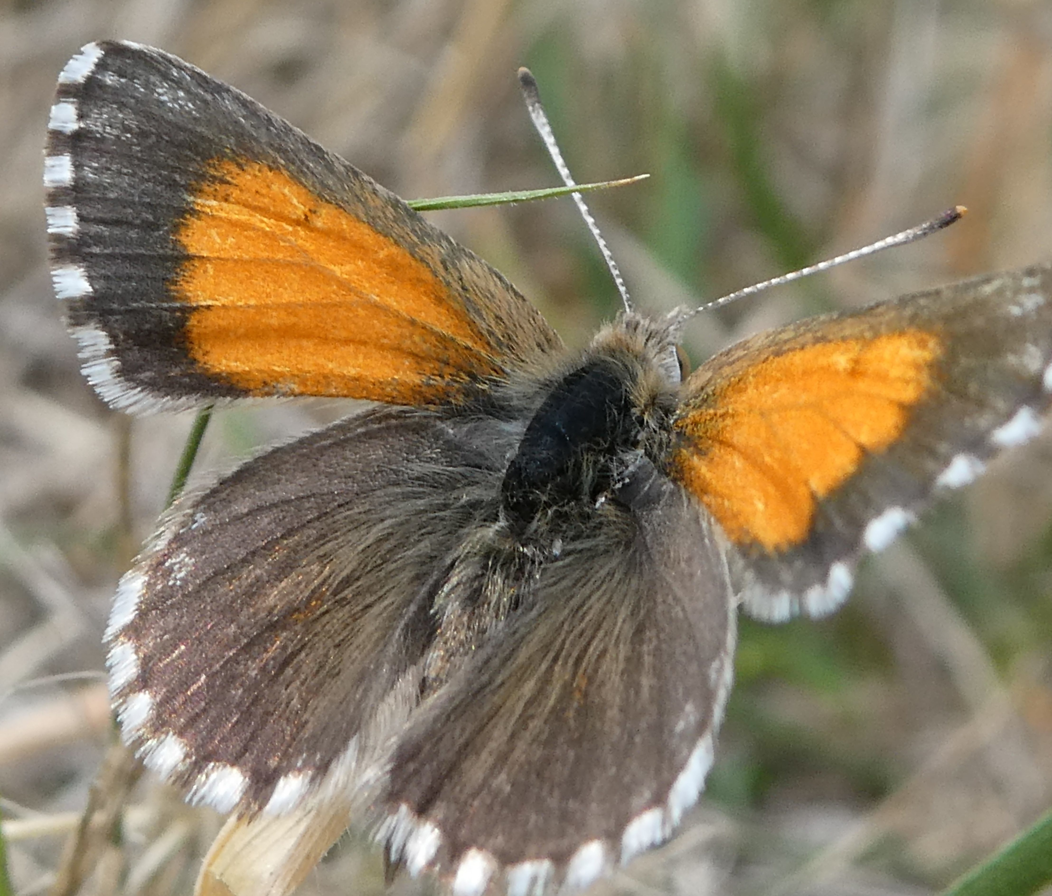 Creating a more butterfly friendly Adelaide - Green Adelaide