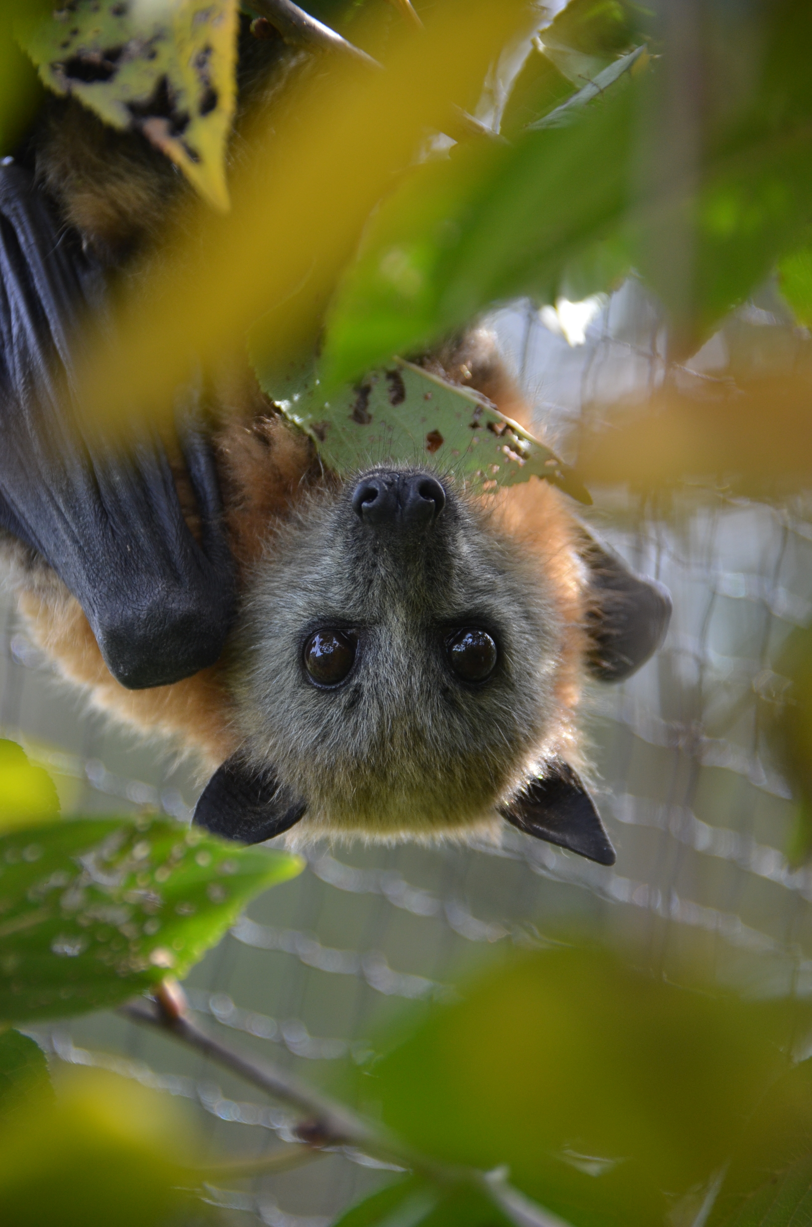 Grey-headed flying foxes - Green Adelaide