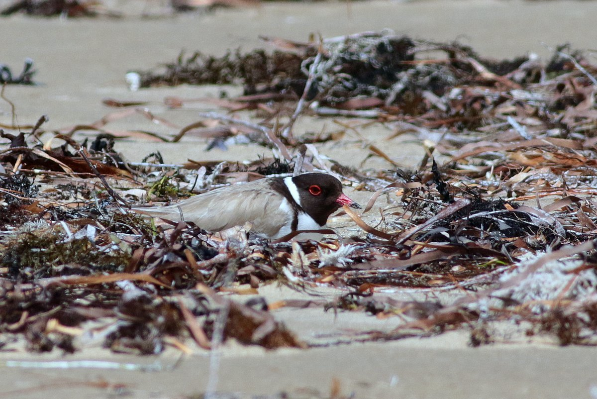 A hooded plover nesting on the beach. Photo: Martin Stokes