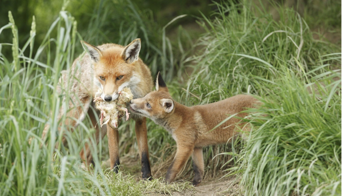 5 ways to outfox foxes in Adelaide - Green Adelaide