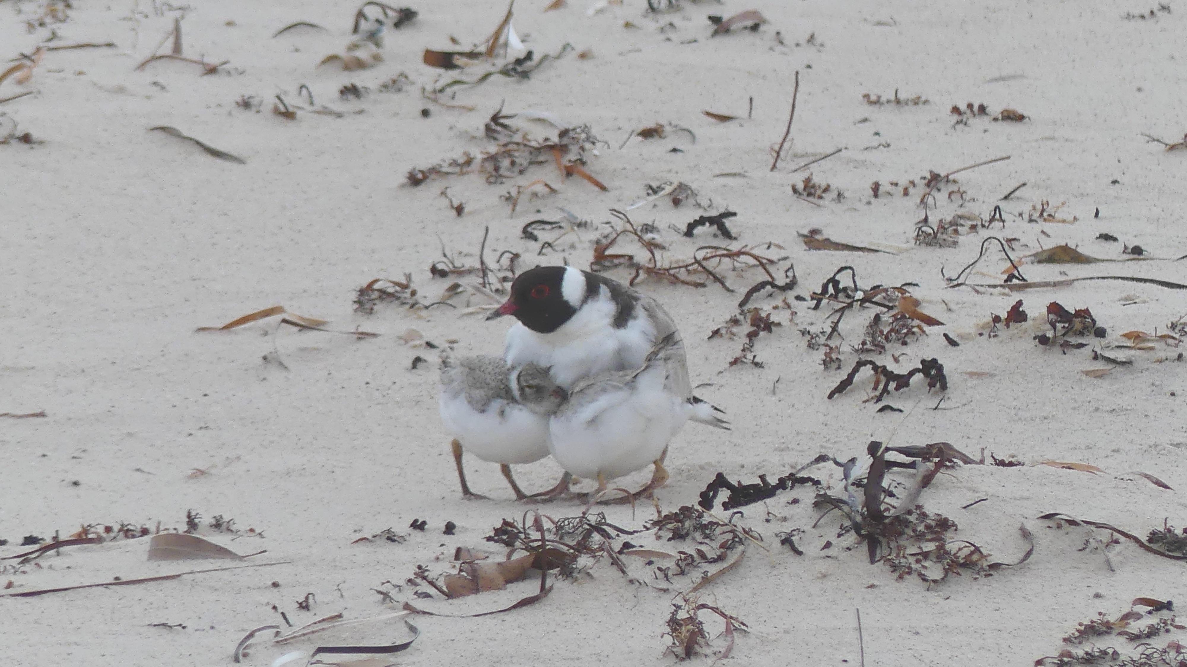 Hooded plover parent brooding chicks. Photo: Matt Endacott