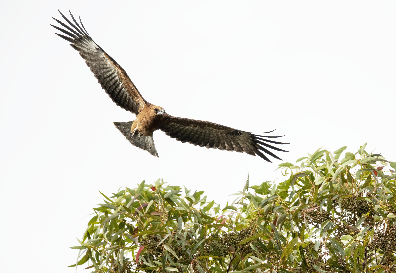 Encouraging birds of prey habitat and awareness - Green Adelaide