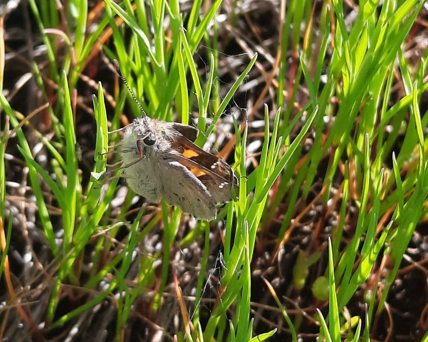 Yellowish sedge skipper butterfly-credit Darren Kennedy
