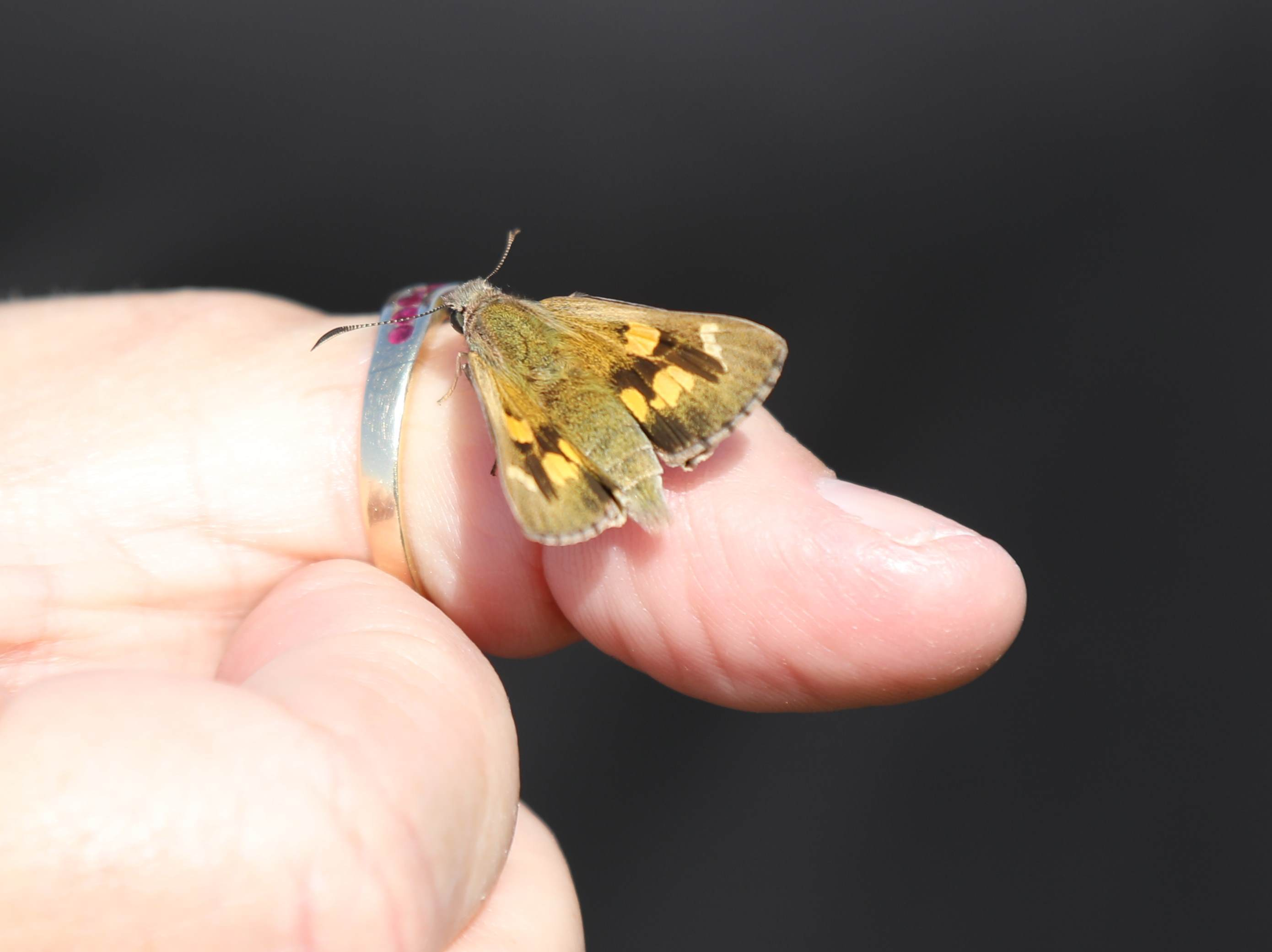 Locally extinct butterfly returns to Adelaide - Green Adelaide
