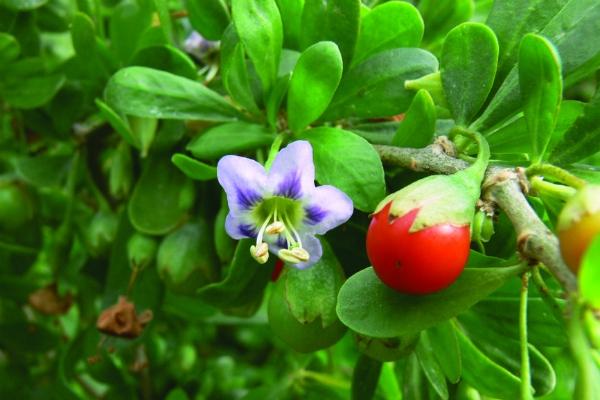 Pest plants - Green Adelaide