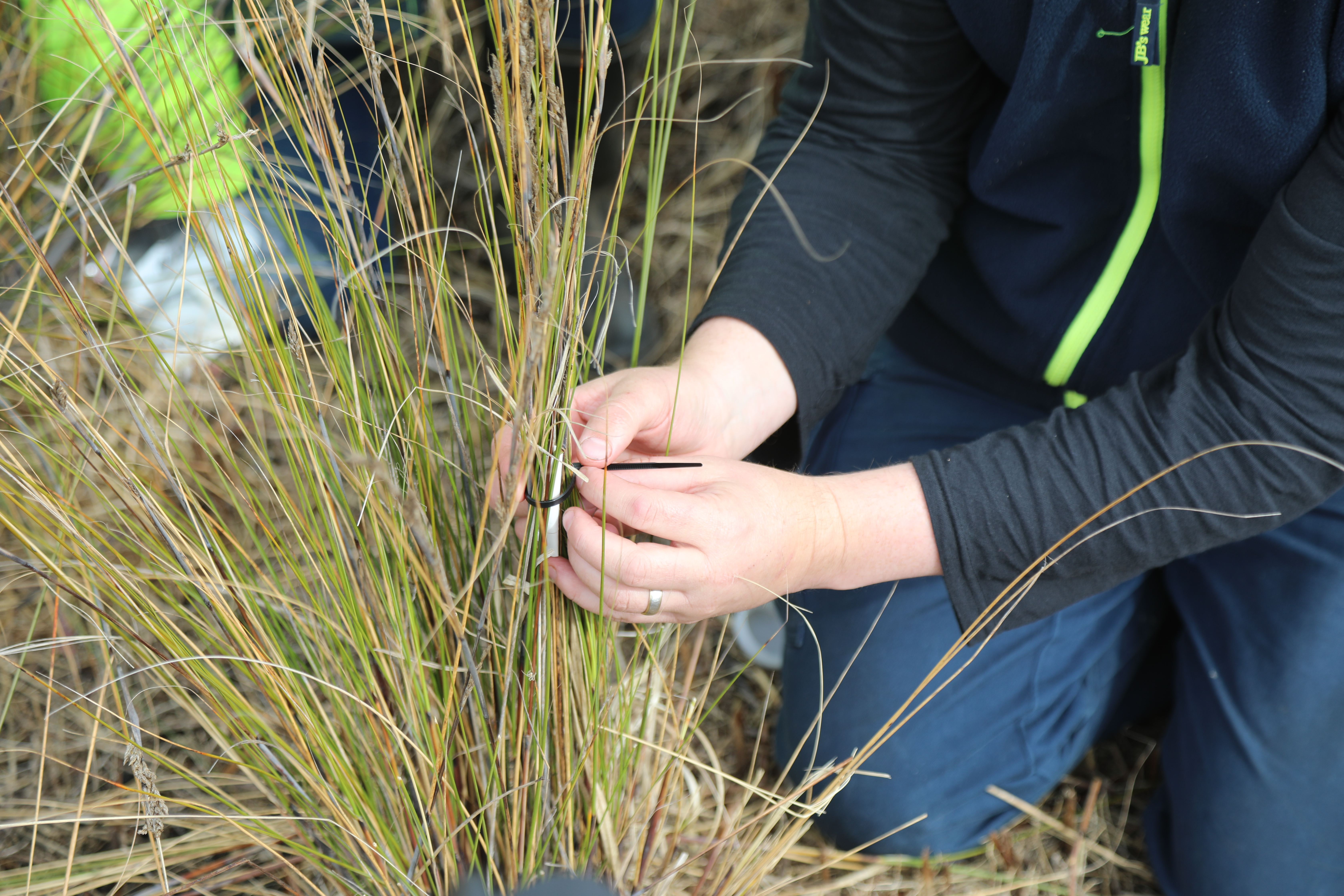 Attaching an artificial shelter to the host plant thatching grass-credit Tony Flaherty
