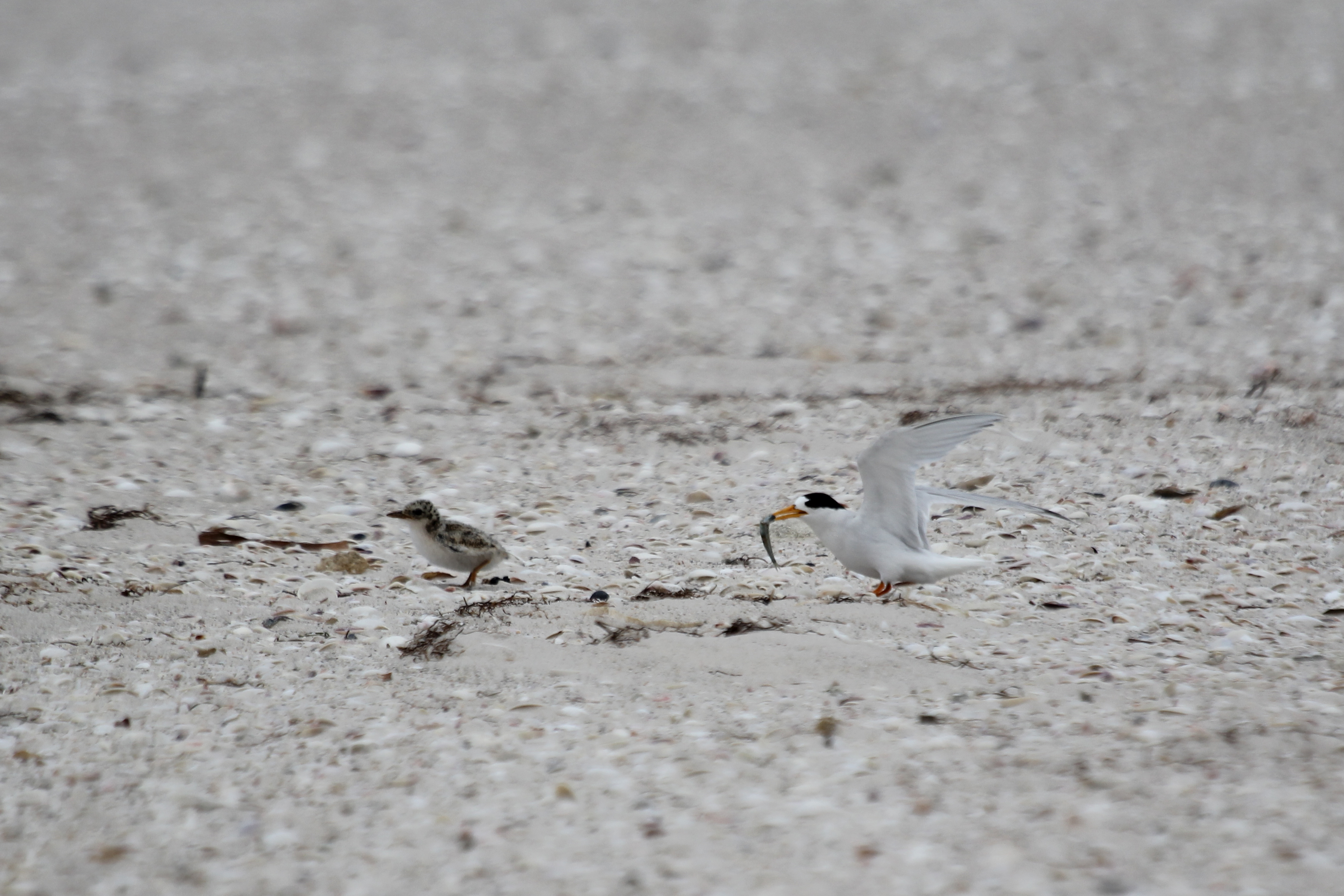 An adult fairy tern and its chick. Photo: Tony Flaherty