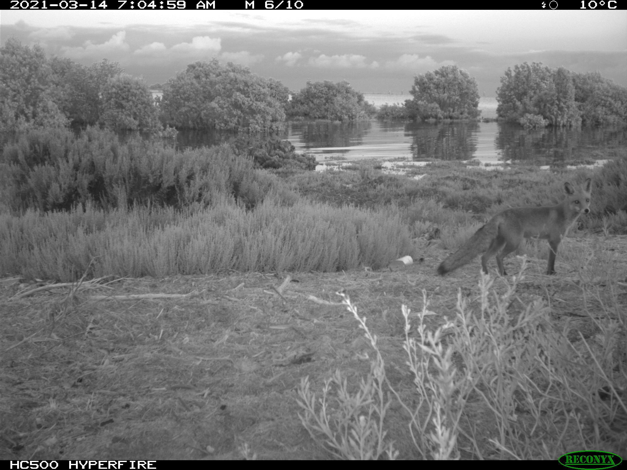 fox-caught-on-monitoring-camera