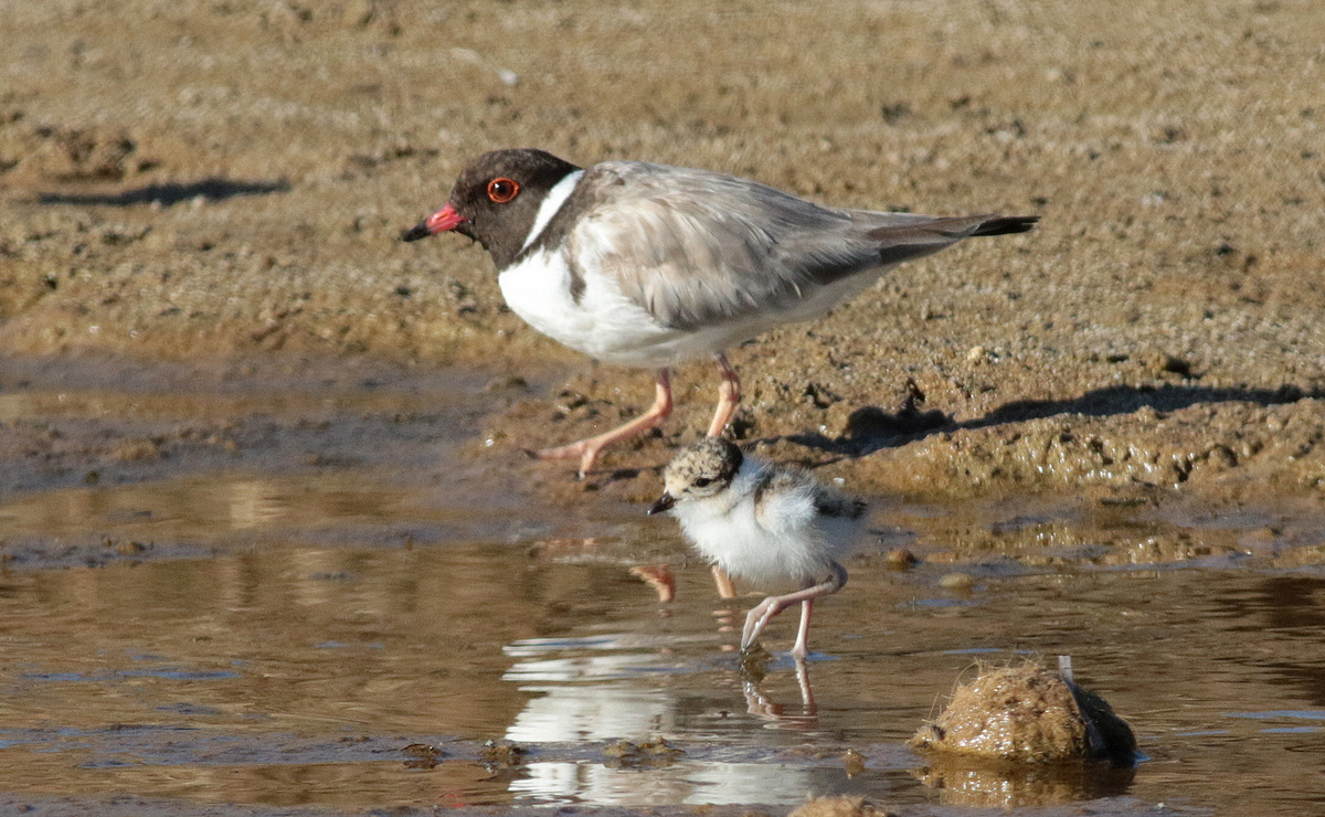 An adult hooded plover and chick. Photo: Martin Stokes