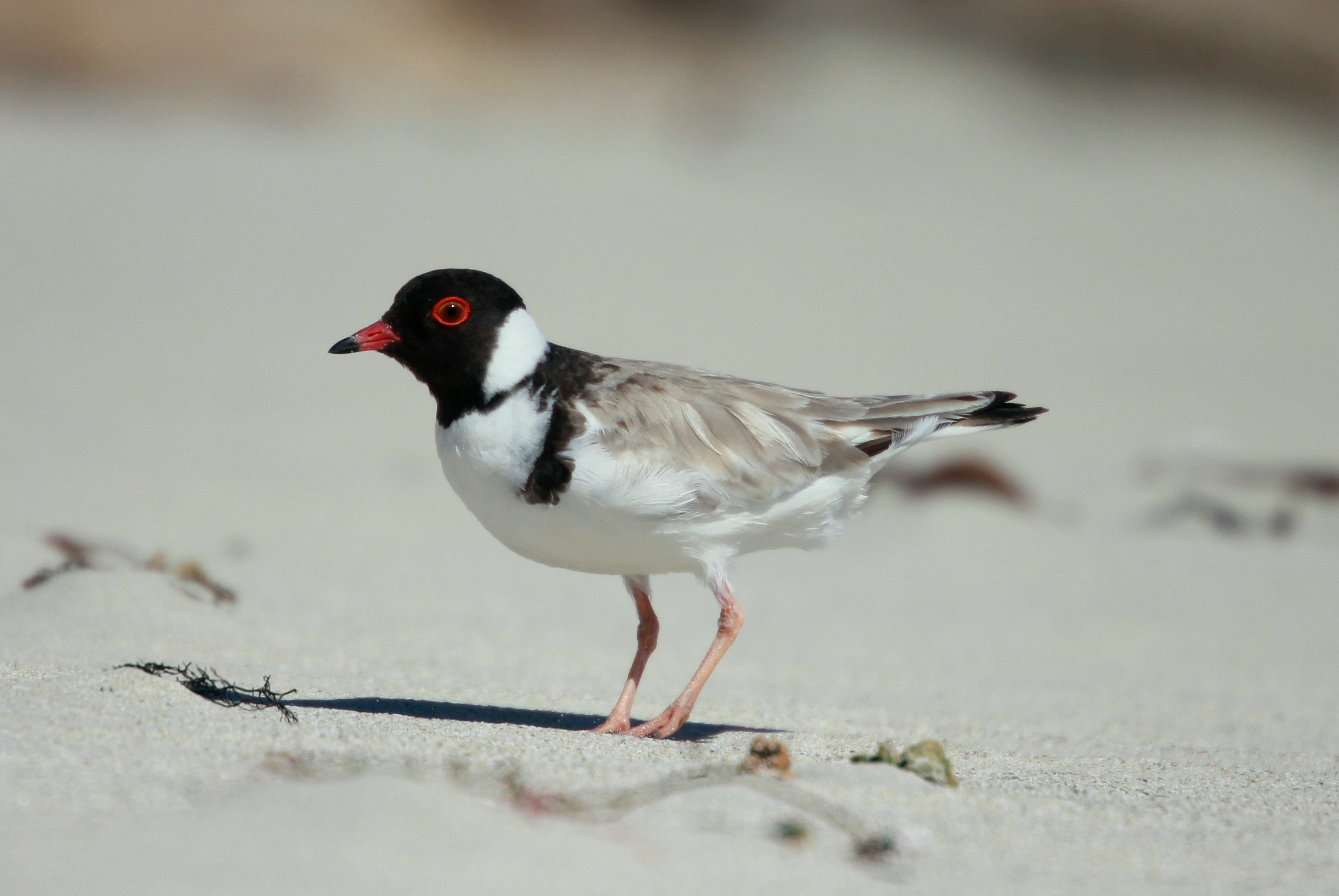 Get to know the threatened bird and its adorable babies surviving on Adelaide's coast - Green Adelaide