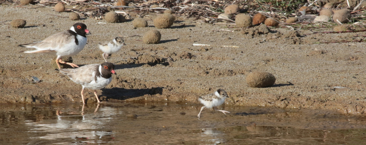 hooded-plover-adults-and-chicks-martin-stokes
