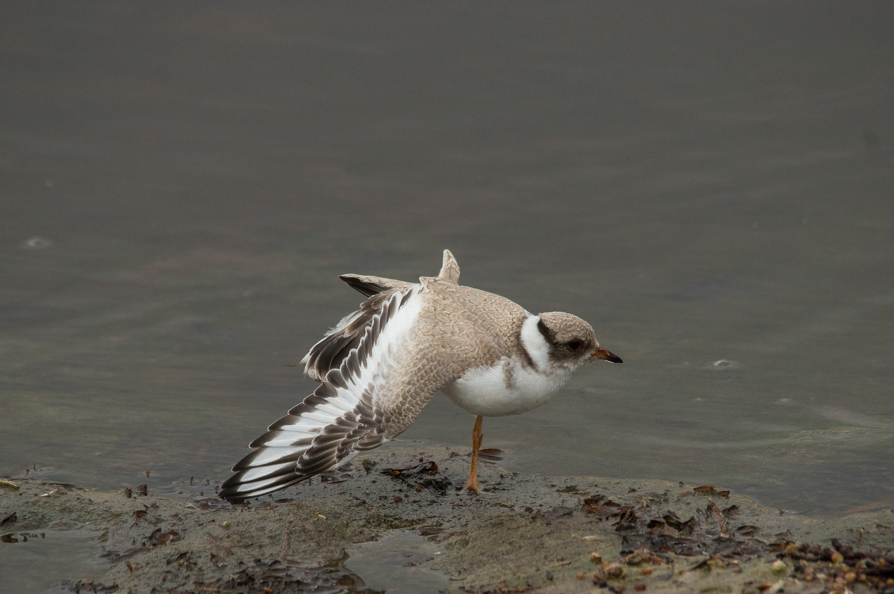 48-day old juvenile hooded plover. Photo: Kerri Bartley