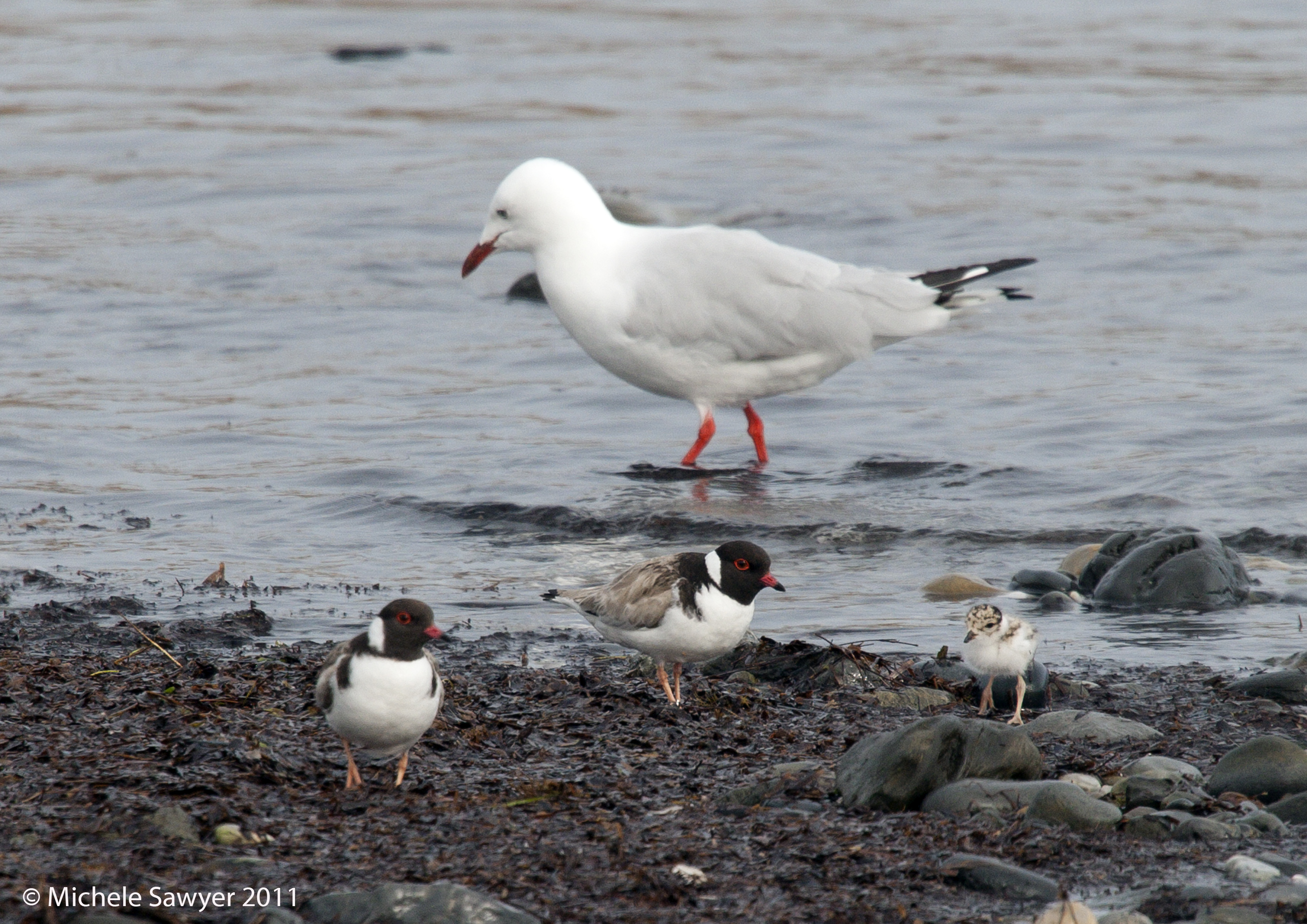 Hooded plover family next to a seagull. Photo: Michelle Sawyer