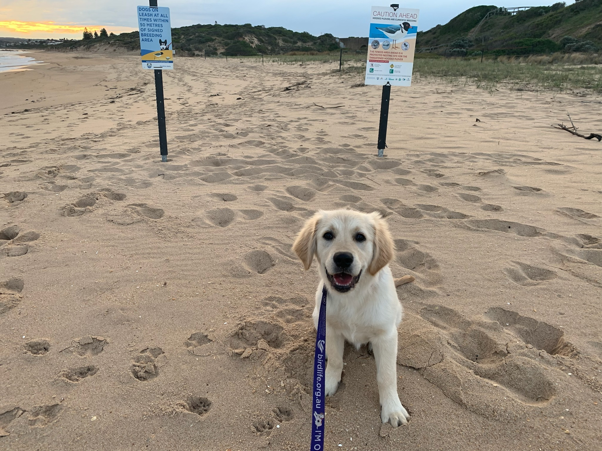 Puppy on a leash next to hooded plover signs. Photo: Kerri Bartley