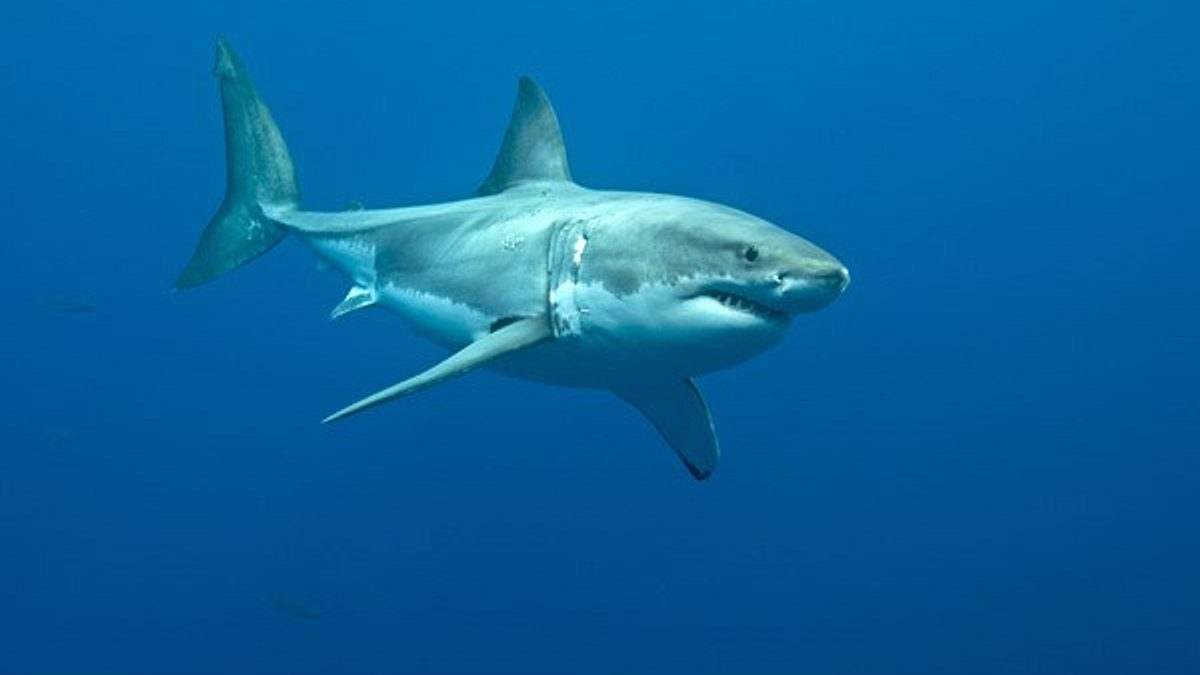 Adult great white sharks can grow to nearly 6m long, and weigh more than 2,000kg. Photo courtesy of Valerie Taylor.